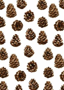 Pine cones with yummy nuts